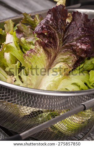 Freshly harvest Lola Rosa lettuce, mustard greens, buttercrunch, and assorted lettuce in a metal colander - stock photo