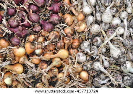 freshly harvested assorted ripe onion bulbs  in the vegetable garden - stock photo