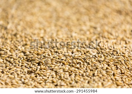 Freshly harvested barley beans - close up of grains of malt. Barley on background. Concept of food and agriculture. Shallow depth of field. - stock photo