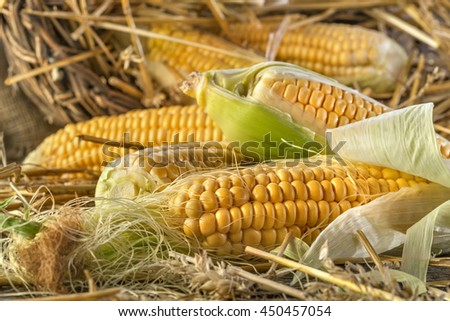 Freshly harvested corn in the straw on rustic wooden background - stock photo