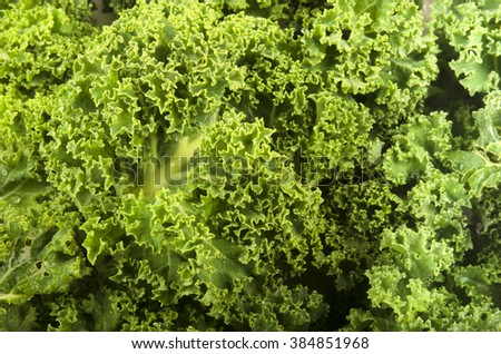 freshly harvested organic curly kale to use as background - stock photo