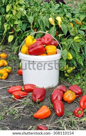 freshly harvested ripe peppers in the vegetable garden - stock photo