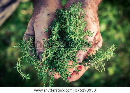 Freshly harvested thyme in hands - stock photo