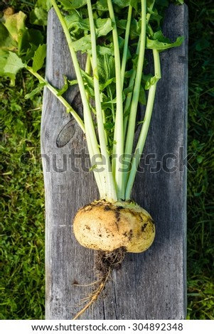 Freshly harvested yellow turnip, top view - stock photo