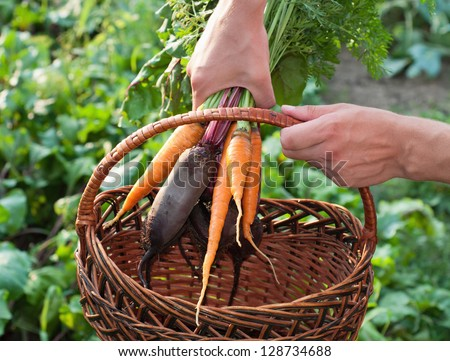 Freshly Picked Beetroot and Carrots. - stock photo