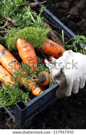 Freshly picked carrots - stock photo