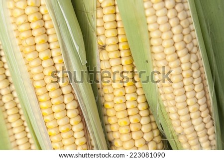Freshly picked corn cobs for sale at a fair for agricultural products - stock photo