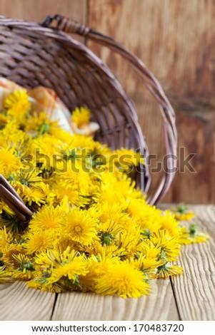 Freshly picked dandelions in a wicker basket - stock photo