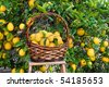 Freshly picked lemons in a basket resting on a ladder. - stock photo
