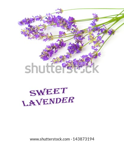 Freshly Picked Lovely Sprigs of Purple Lavender Flowers on White Background with Room or Space for your Words or Text - stock photo