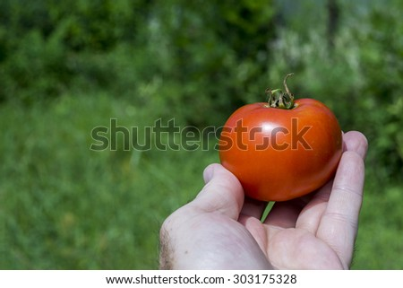 Freshly picked organic red tomato in farmers hand. - stock photo