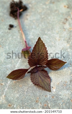 Freshly picked purple shiso perilla leaves with roots attached - stock photo