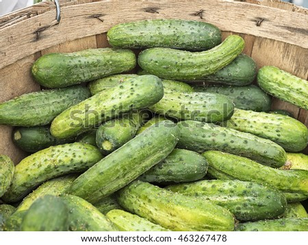 Freshly picked raw cucumbers for pickles, in a bushel basket