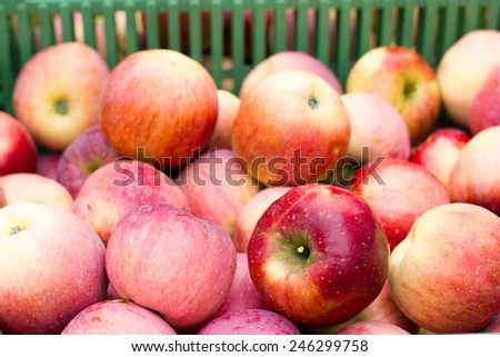 Freshly picked red apples in the plastic crate - stock photo