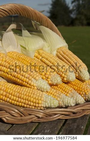 Freshly picked ripe corn - stock photo