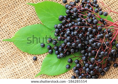 Freshly picked ripe Elderberry fruit, also known as Sambucus Berries, on green leaves and hemp fabric background