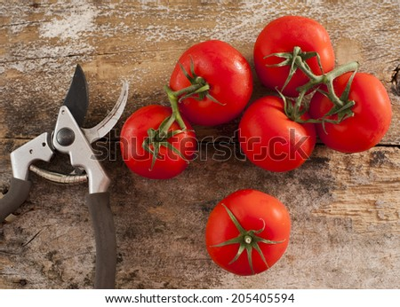 Freshly picked ripe red home grown tomatoes still on the vine lying on a rustic wooden table alongside a pair of secateurs or pruning shears - stock photo