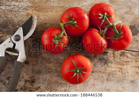 Freshly picked ripe red tomatoes off the vine lying on an old rustic wooden garden table with a pair of pruning shears or secateurs, overhead view - stock photo