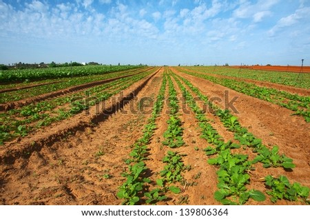 Freshly planted and tilled field with blue sky and clouds showing new growth - stock photo