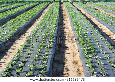 Freshly planted crops in furrows covered with plastic to save water and erosion. - stock photo