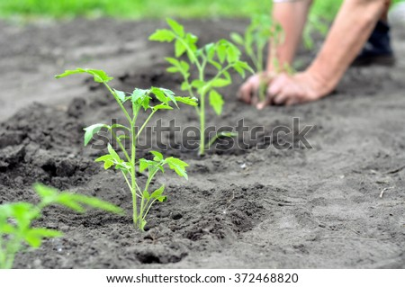 freshly planted tomato seedlings in the vegetable garden, selective focus on foreground - stock photo