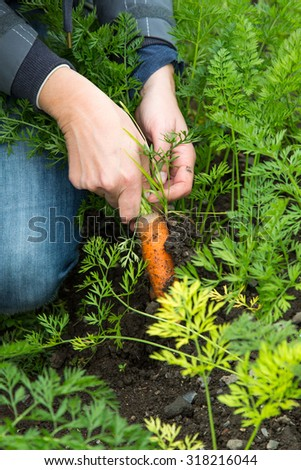 Freshly pulled carrot out of the ground at the allotment - stock photo