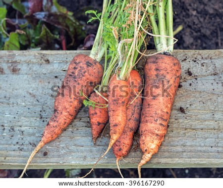 Freshly Pulled Organic Carrots. Vegetable Garden Home Grown Produce. - stock photo