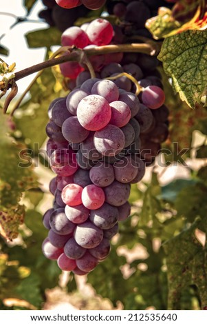 Freshly riped grapes in autumn - stock photo