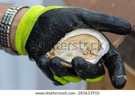 Freshly shucked oyster in a protective gloved hand. - stock photo