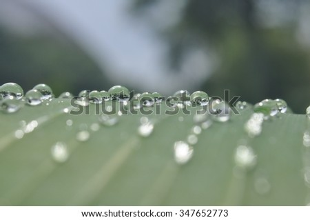 Freshness of water drops on green banana leaves