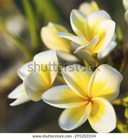 freshness of white Plumeria or Frangipani flowers. blossom of beautiful tropical tree  - stock photo