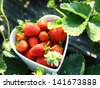 Freshness strawberry on heart shape bowl - stock photo