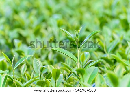 Freshness tea top in plantation.