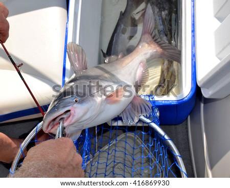 Freshwater catfish caught by fisherman - stock photo