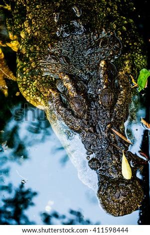 Freshwater Crocodile or Siamese Crocodile, Thailand - stock photo