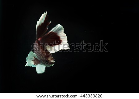 Freshwater Cupang Fish with beautiful color red and blue