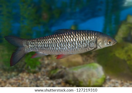 Ekaterina v borisova 39 s portfolio on shutterstock for Common freshwater aquarium fish