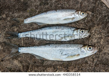 Freshwater fish just taken from the water. Catching fish - common bleak on wat sand. - stock photo