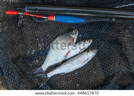 Freshwater fish just taken from the water. Fishing rod with float and fishing net as background. Several bleak fish, silver bream or white bream fish on fishing net.  - stock photo