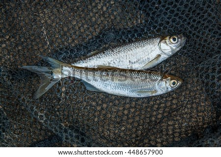 Freshwater fish just taken from the water. Several bleak fish on black fishing net.  - stock photo