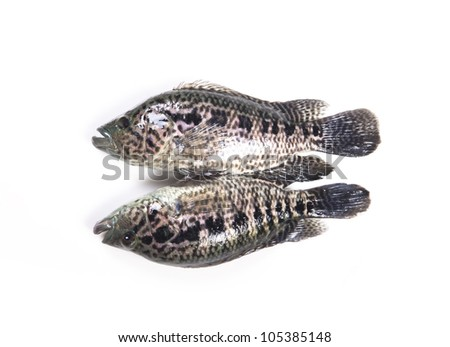 Freshwater fish on a white background