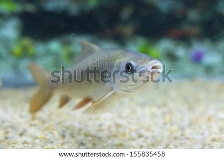 Freshwater fishes - stock photo