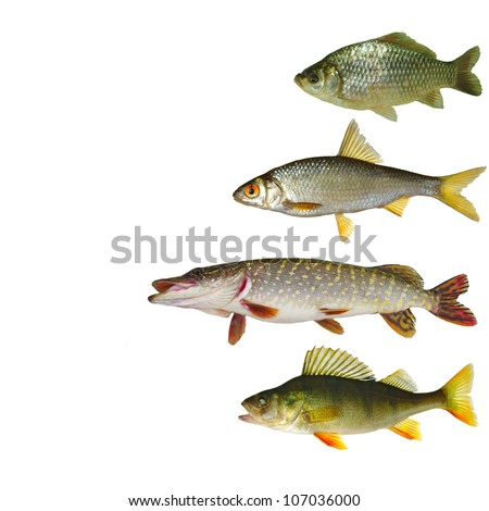 Freshwater fishes collection isolated on white background - stock photo