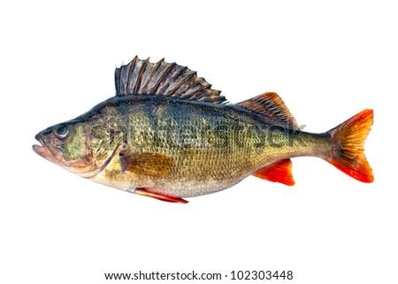 Freshwater perch - stock photo