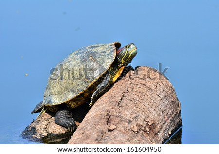Freshwater turtles. - stock photo
