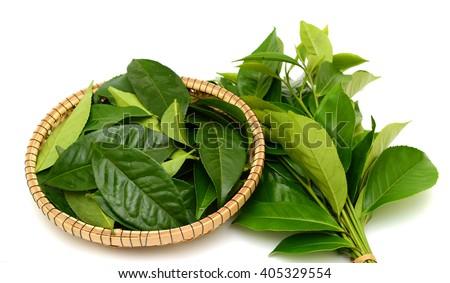 Fressh Green tea leaves (Camellia sinensis) isolated on white background - stock photo