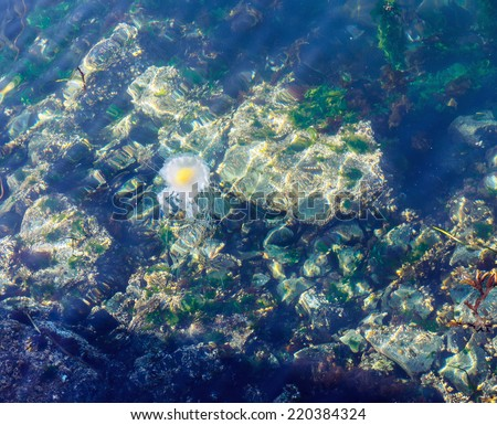 Fried Egg Jellyfish  (Phacellophora camtschatica) in natural habitat - stock photo