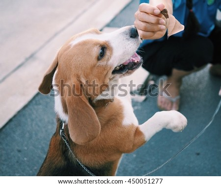 Friendly beagel puppy dog