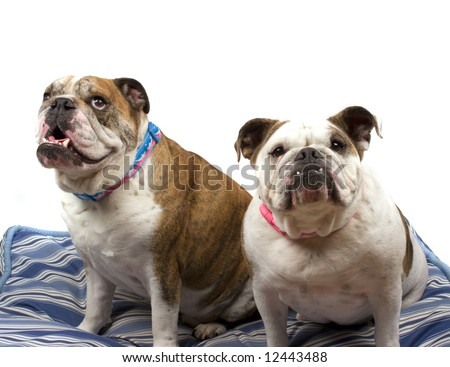 Friendly Bulldog - stock photo