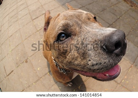 friendly dog Pitbull terrier puppy - stock photo
